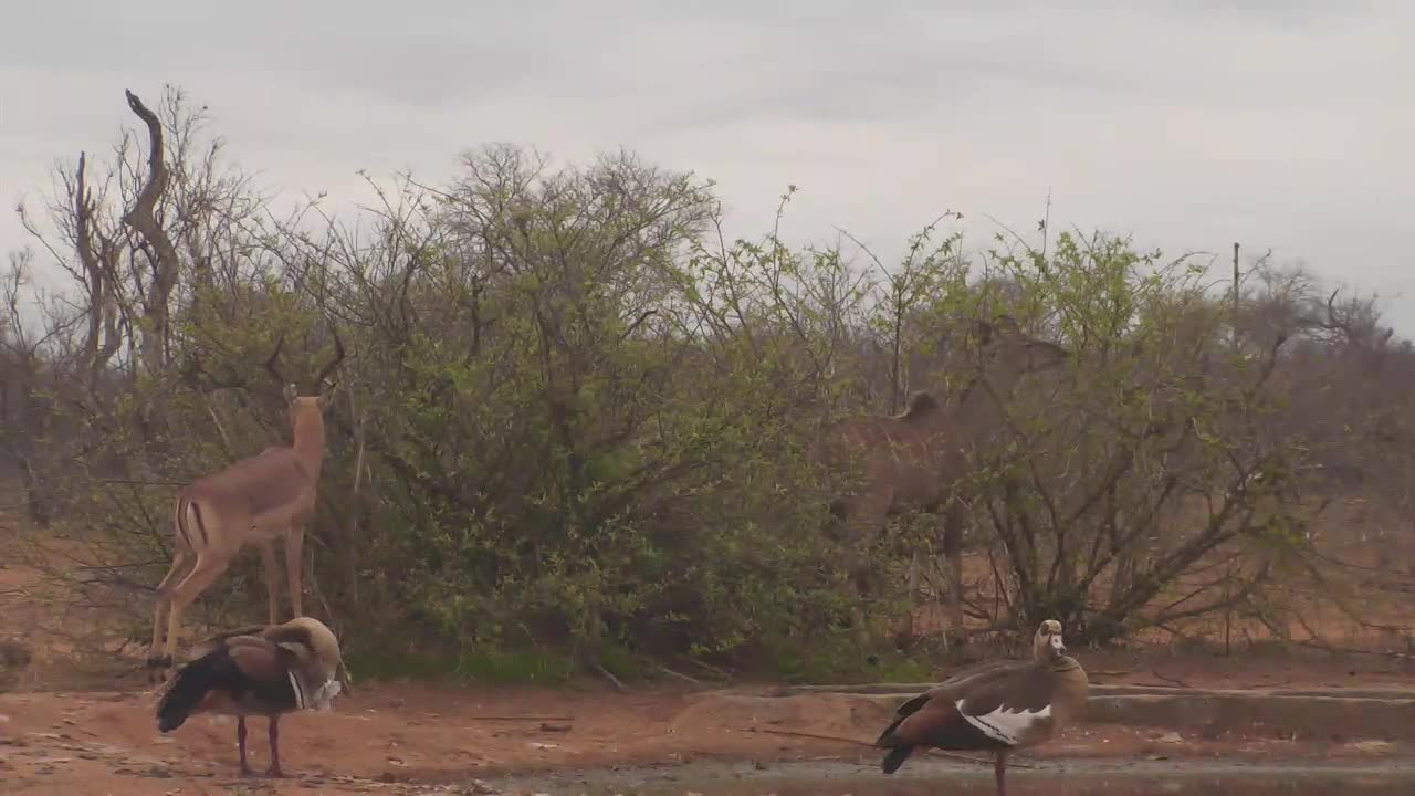 VIDEO: Kudu and Impala enjoy the fresh leaves and Egyptian Geese making their feathercare