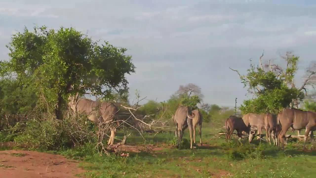 VIDEO: Kudu enjoy the fresh grass and leaves.