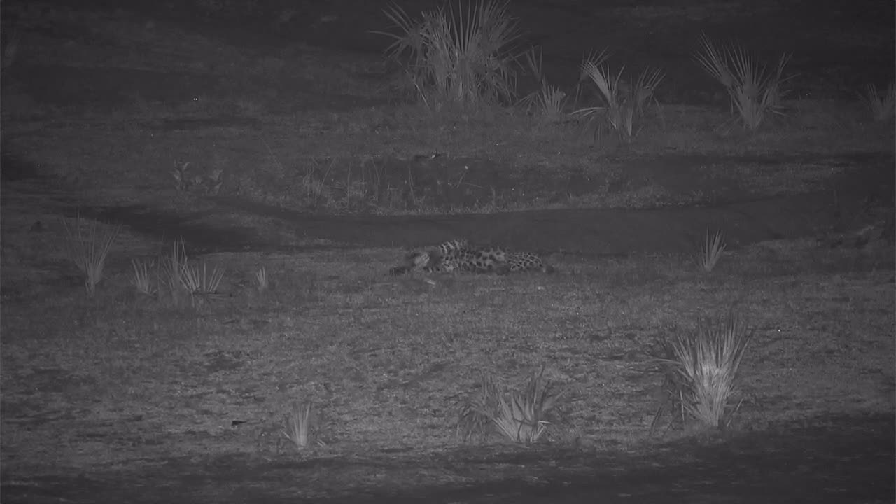 VIDEO: Leopard sniffs, scent marks, has a drink and gets comfortable
