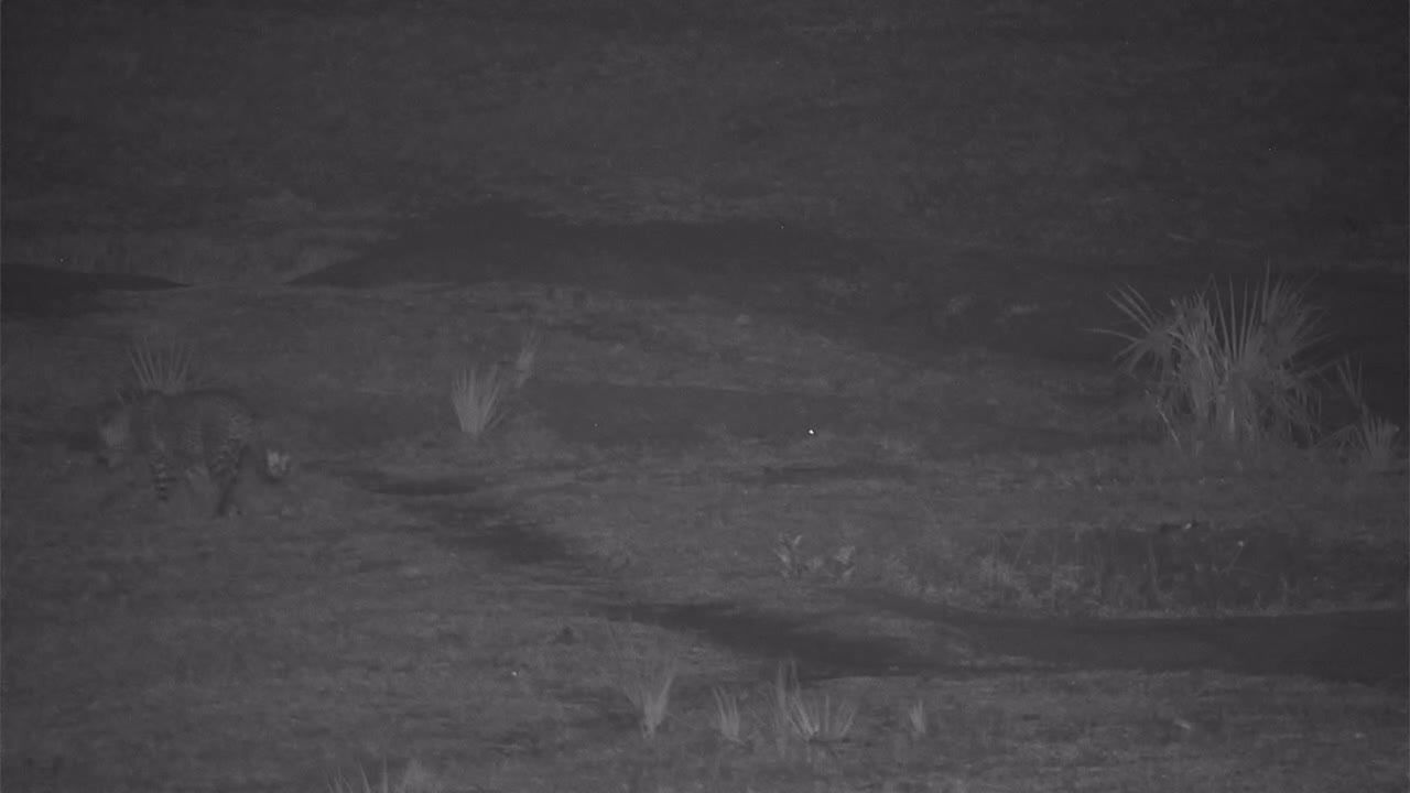 VIDEO: Leopard relaxes and then moves on scent marking as he goes