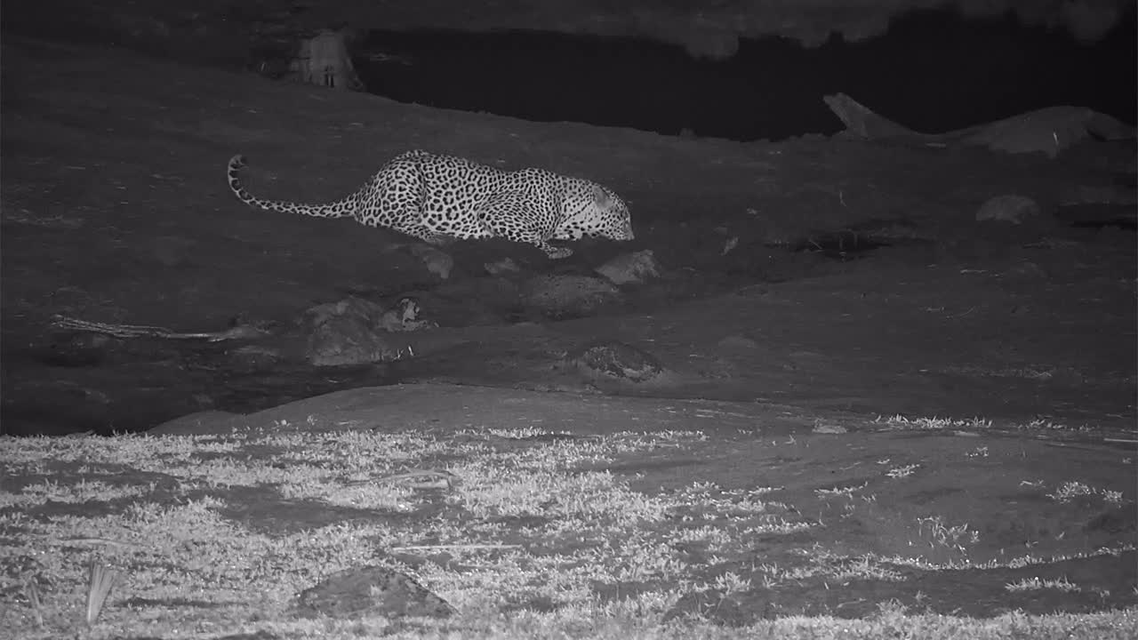 VIDEO: Leopard returns for a long drink