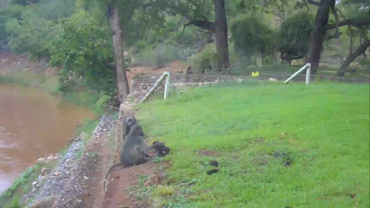 VIDEO: Baboons - with a tiny baby resting at the shore