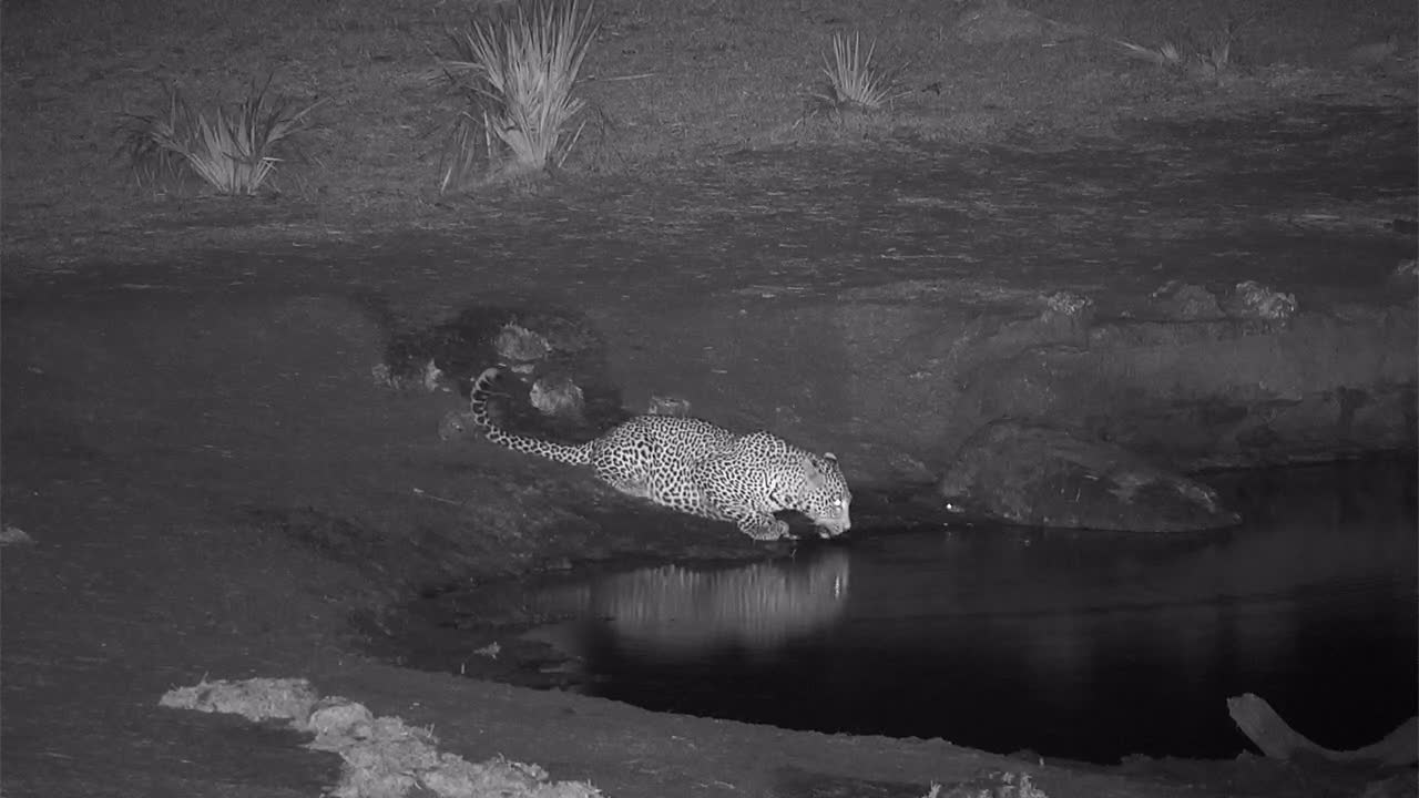 VIDEO:Leopard comes for a drink then leaves