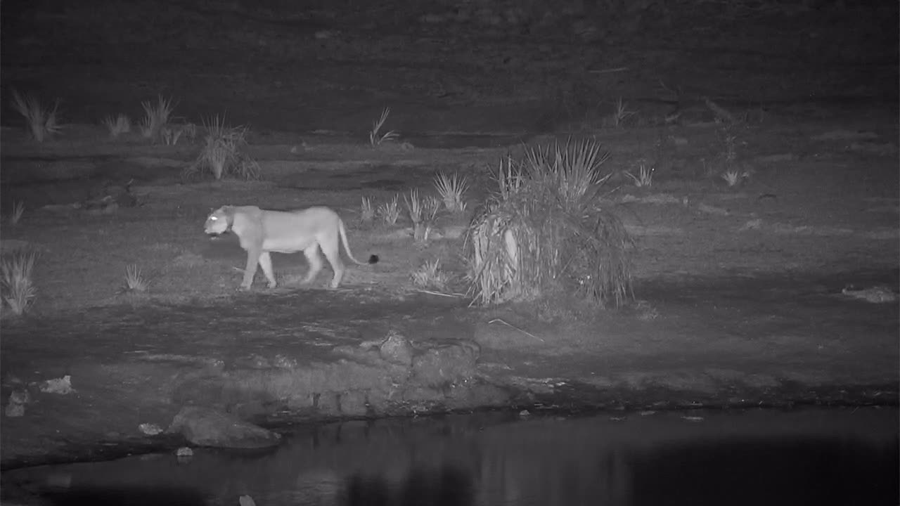 VIDEO:  Lioness scent marking the bush