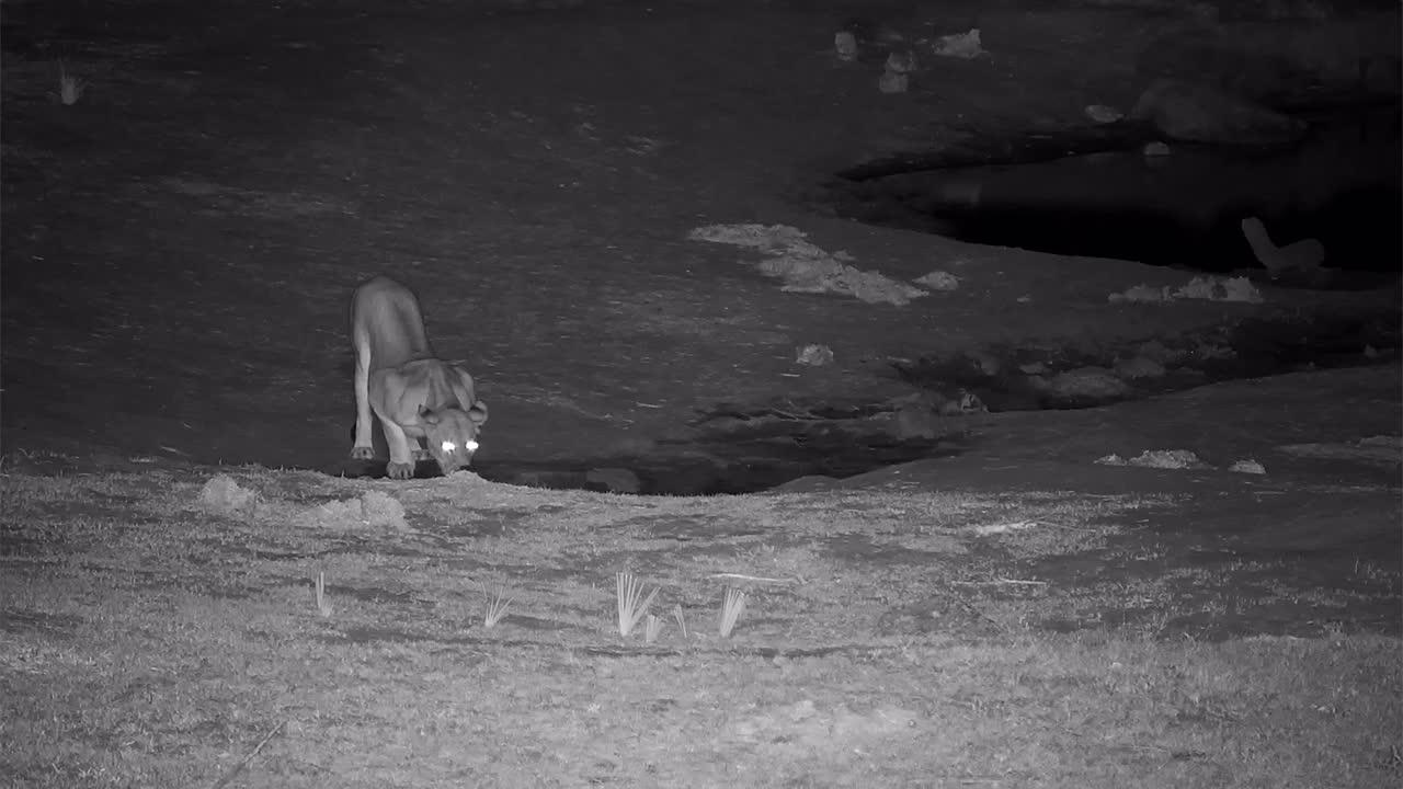 VIDEO:  Thirsty Lioness