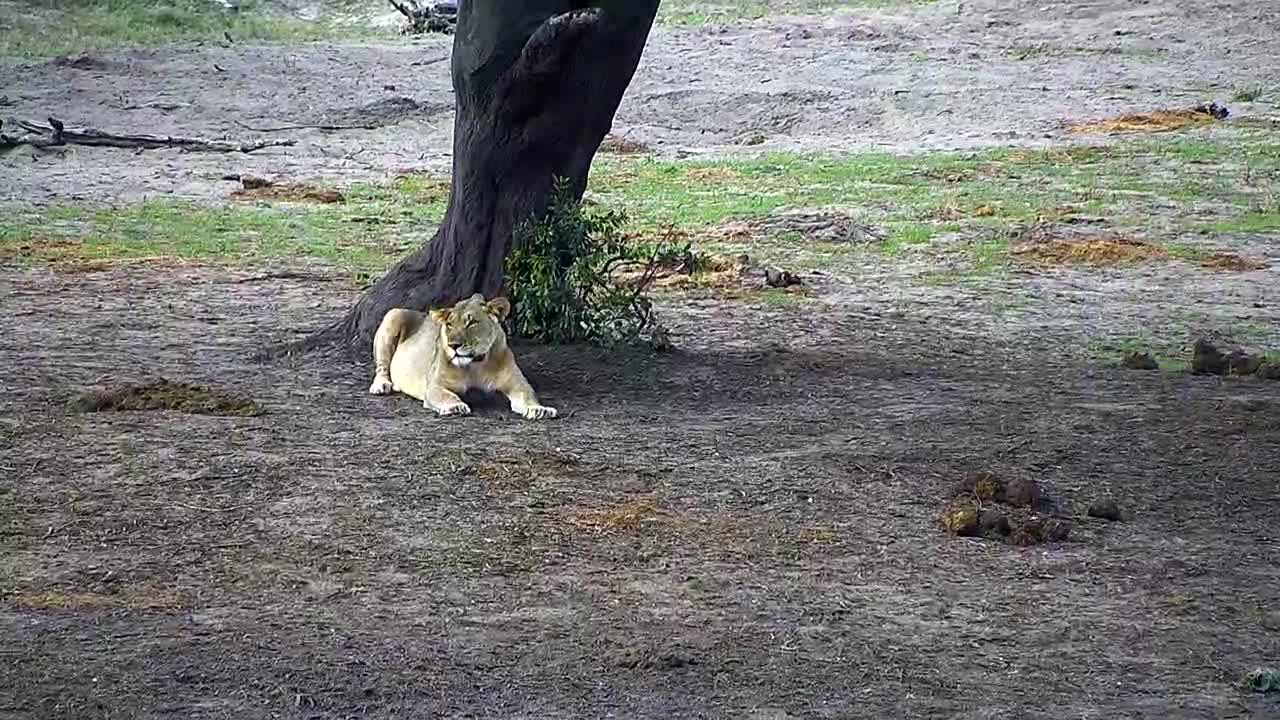 VIDEO: Lion resting in the shade of the tree