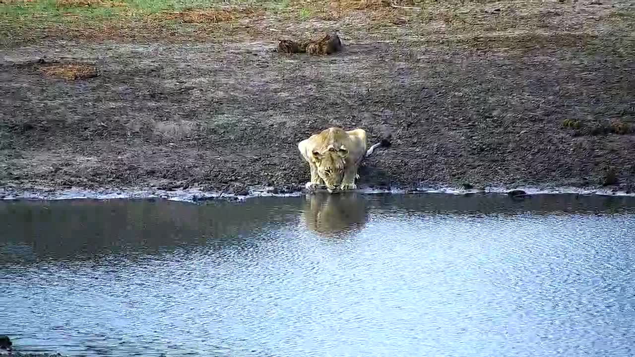 VIDEO: Lion having a drink of water before leaving