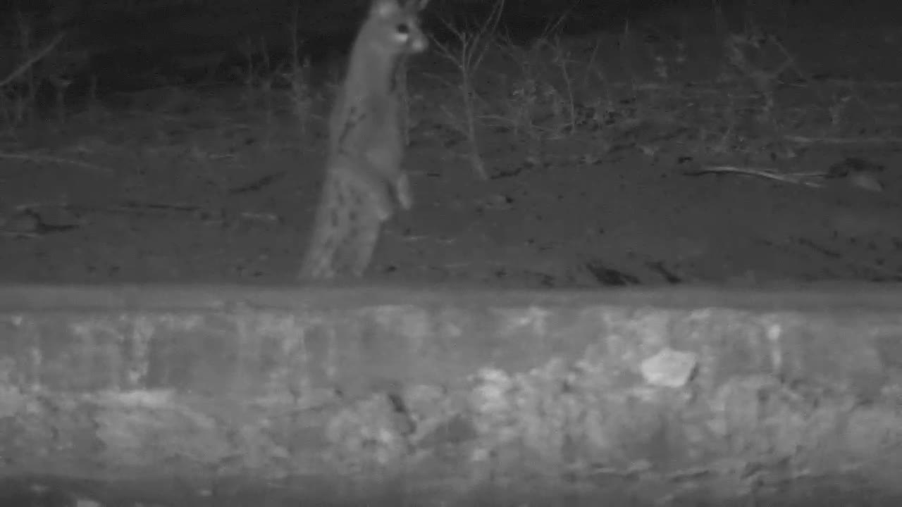 VIDEO:   Genet on the hunt