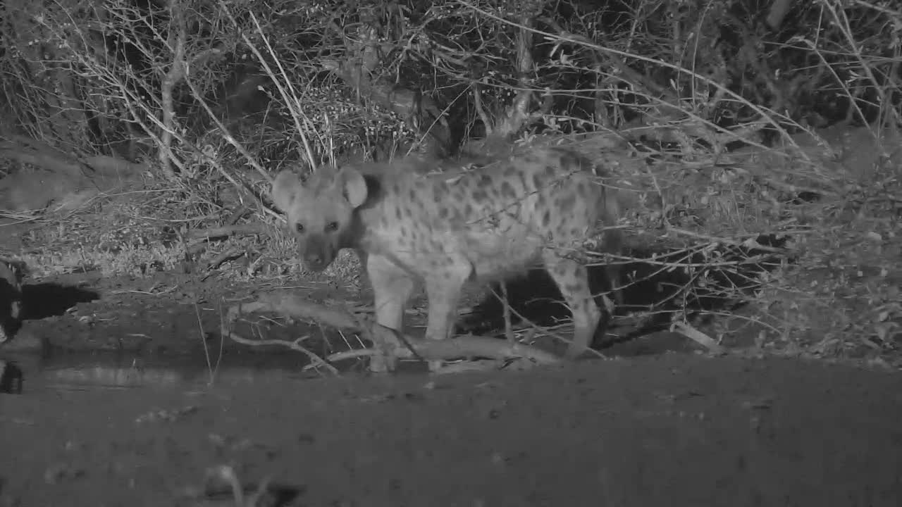 VIDEO:  Hyaena having a drink.