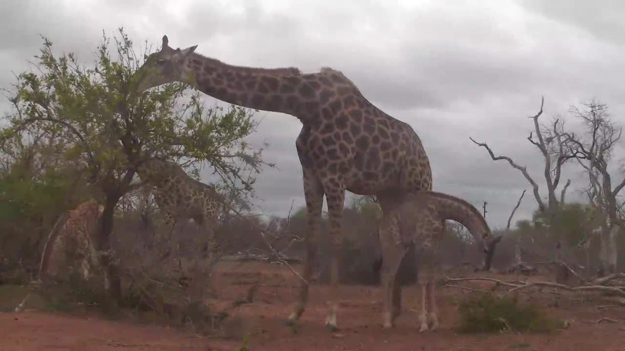 VIDEO: Giraffe with young ones