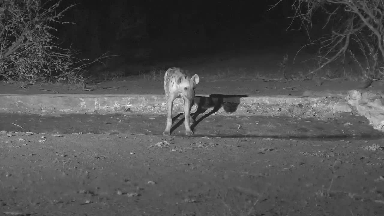 VIDEO:  Hyaena stopped for a quick drink