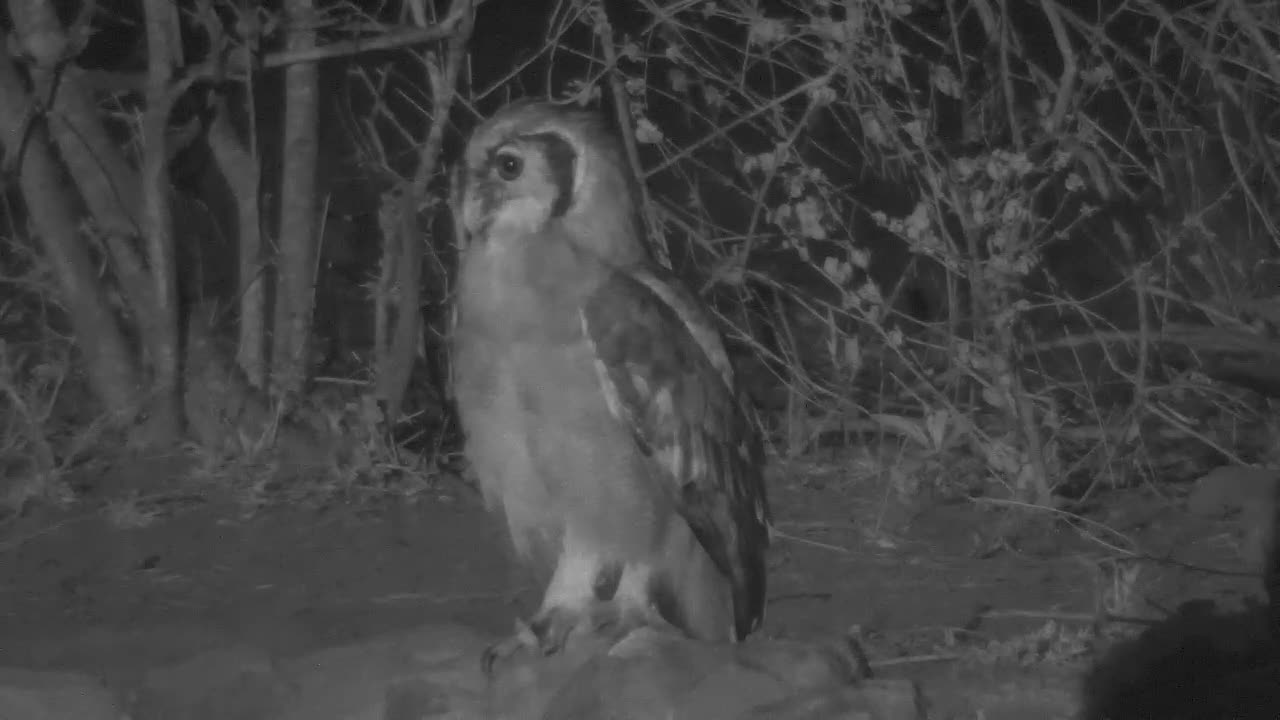 VIDEO: Giant Eagle Owl observing the area - Duiker walking by