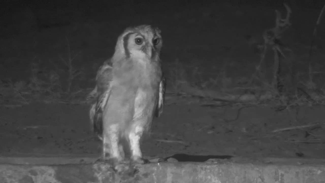 VIDEO: Giant Eagle Owl is very persistent in observing the area