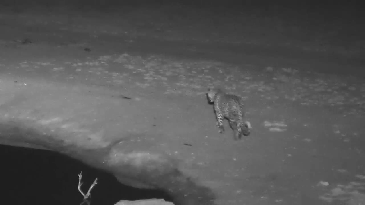 VIDEO: Leopard taking a stroll around the waterhole