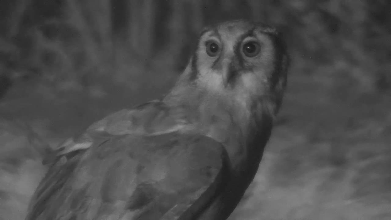 VIDEO:  Giant Eagle Owl looking around