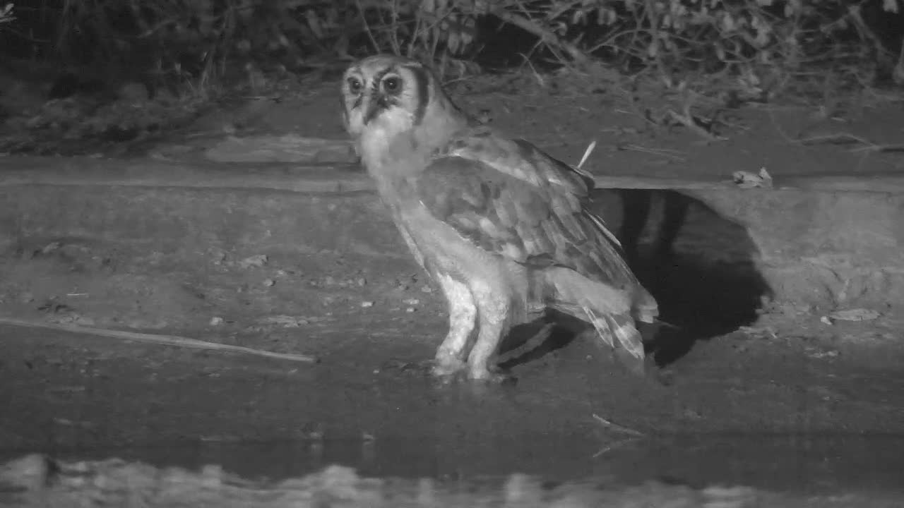 VIDEO:  Giant Eagle Owl eating a frog