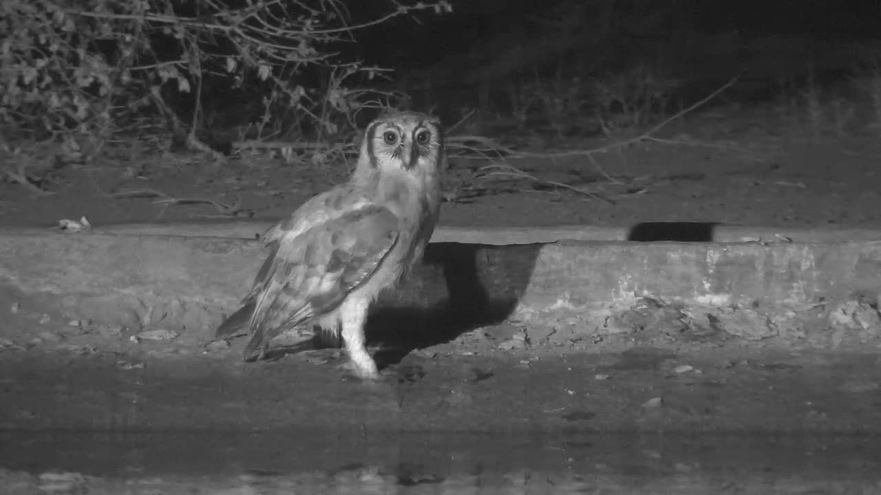 VIDEO:  Giant Eagle Owl waits patiently - then pounces and missed the frog