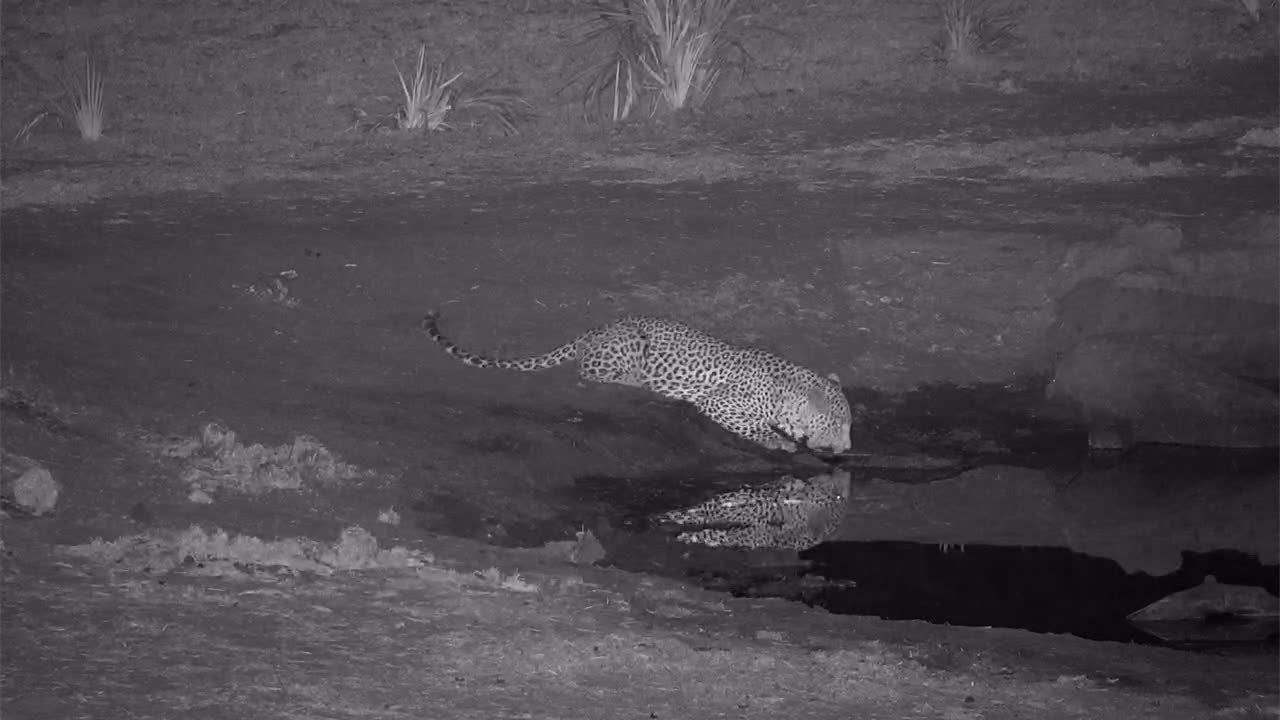 VIDEO: Thirsty Leopard having a drink and look around