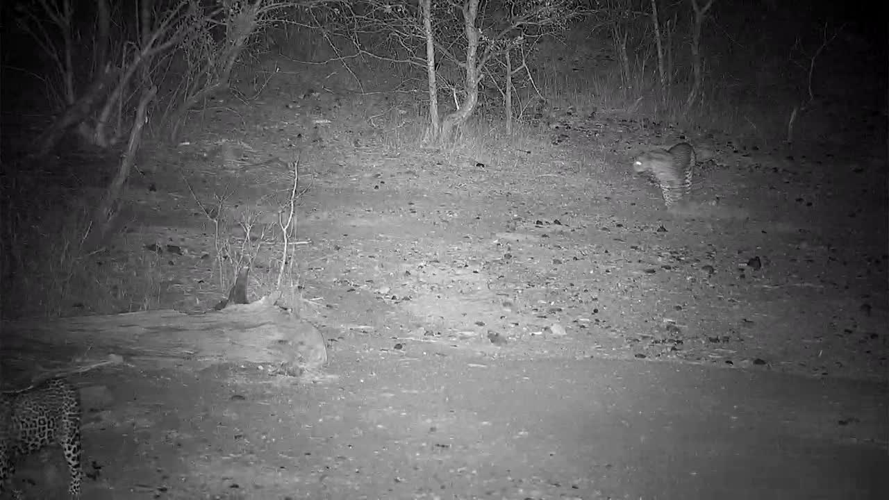 VIDEO:  Two Leopards for a very quick visit