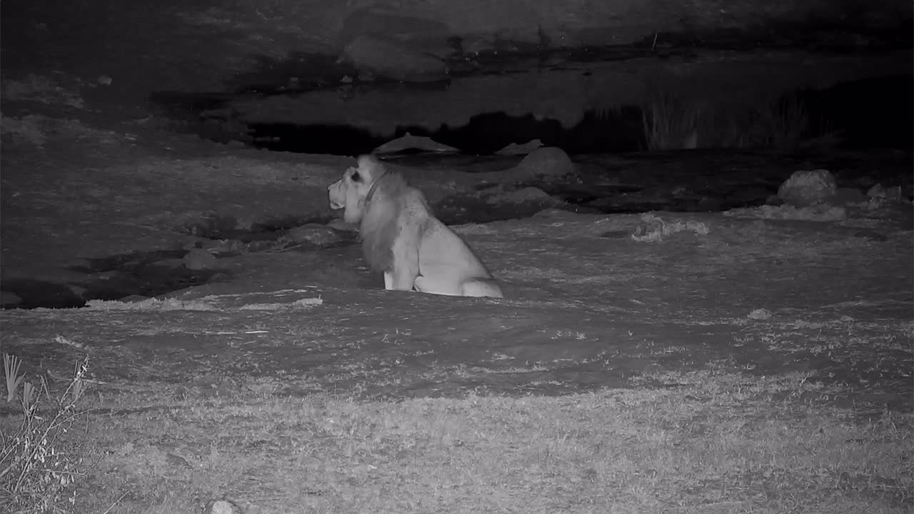 VIDEO:Lone male Lion has a long drink at the waterhole