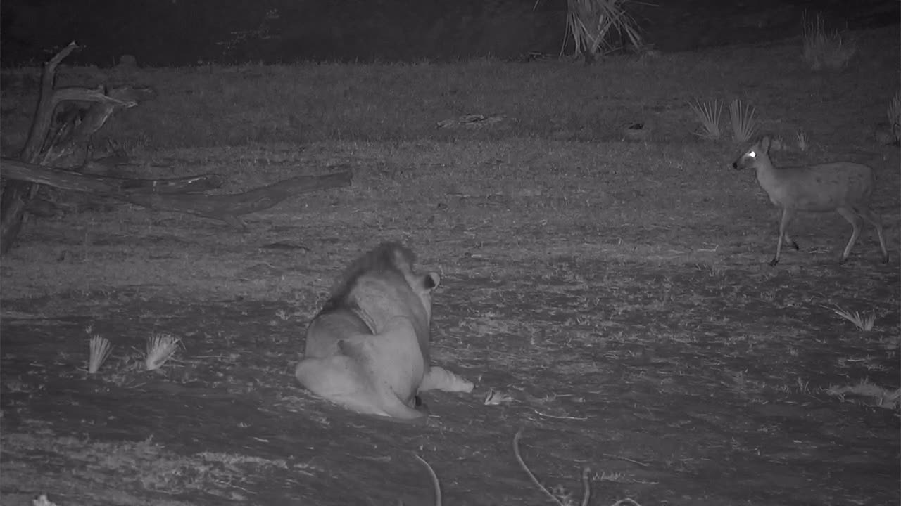VIDEO:Male Lion rests while lucky Duiker walks by