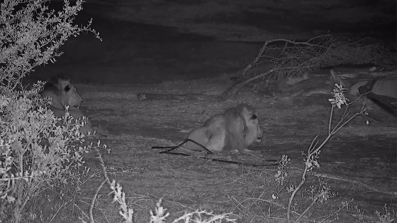 VIDEO: Two male Lions resting and watching the area