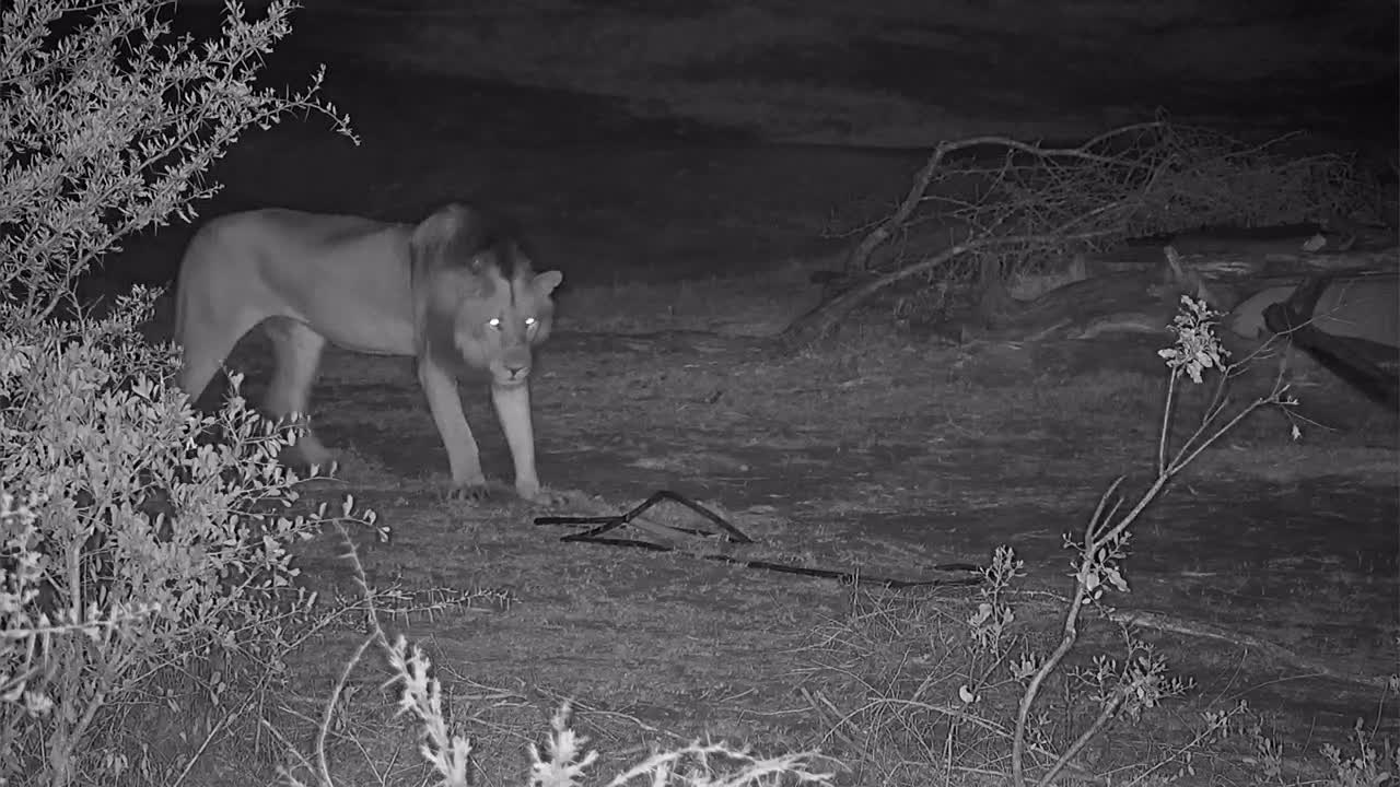 VIDEO: Two male Lions leaving after short rest
