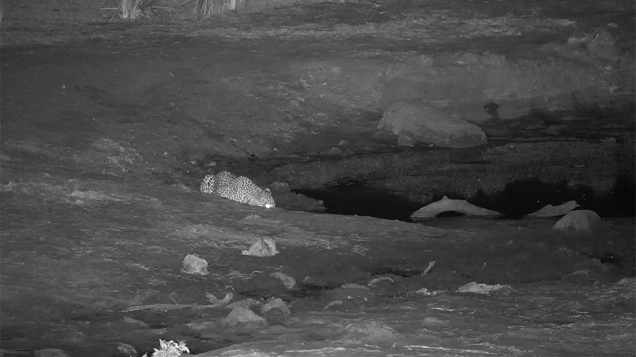 VIDEO: Leopard drinking at the waterhole