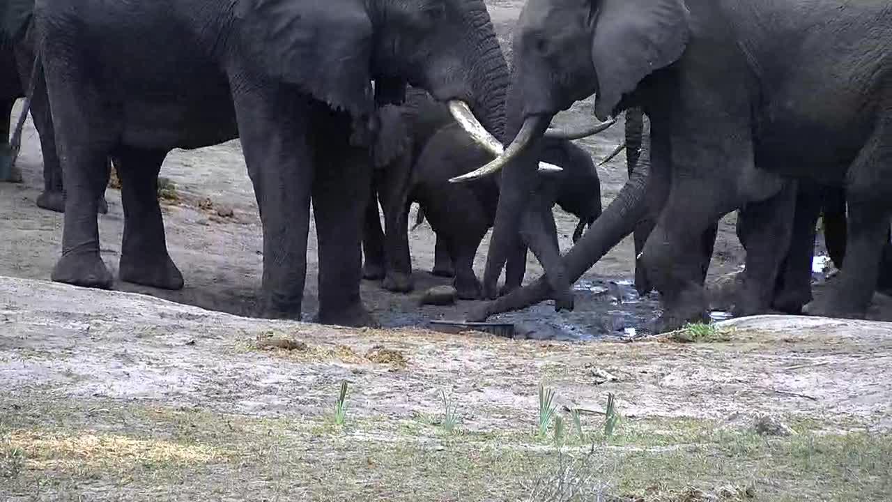 VIDEO: Breeding Herd of Elephants enjoy the fresh water