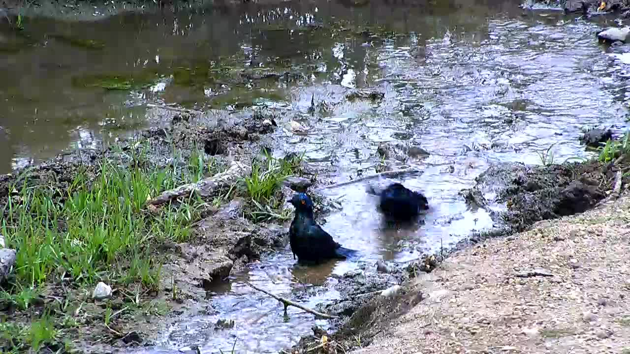 VIDEO: Greater Blue-eared Starlings taking a bath
