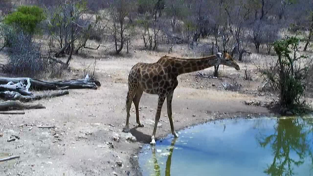 VIDEO: Giraffe came for an extensive drink to the waterhole