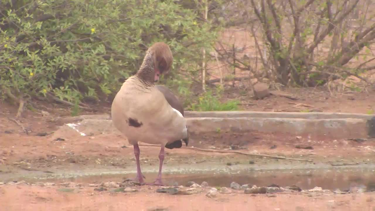 VIDEO:  Egyption  Goose cleaning its feathers