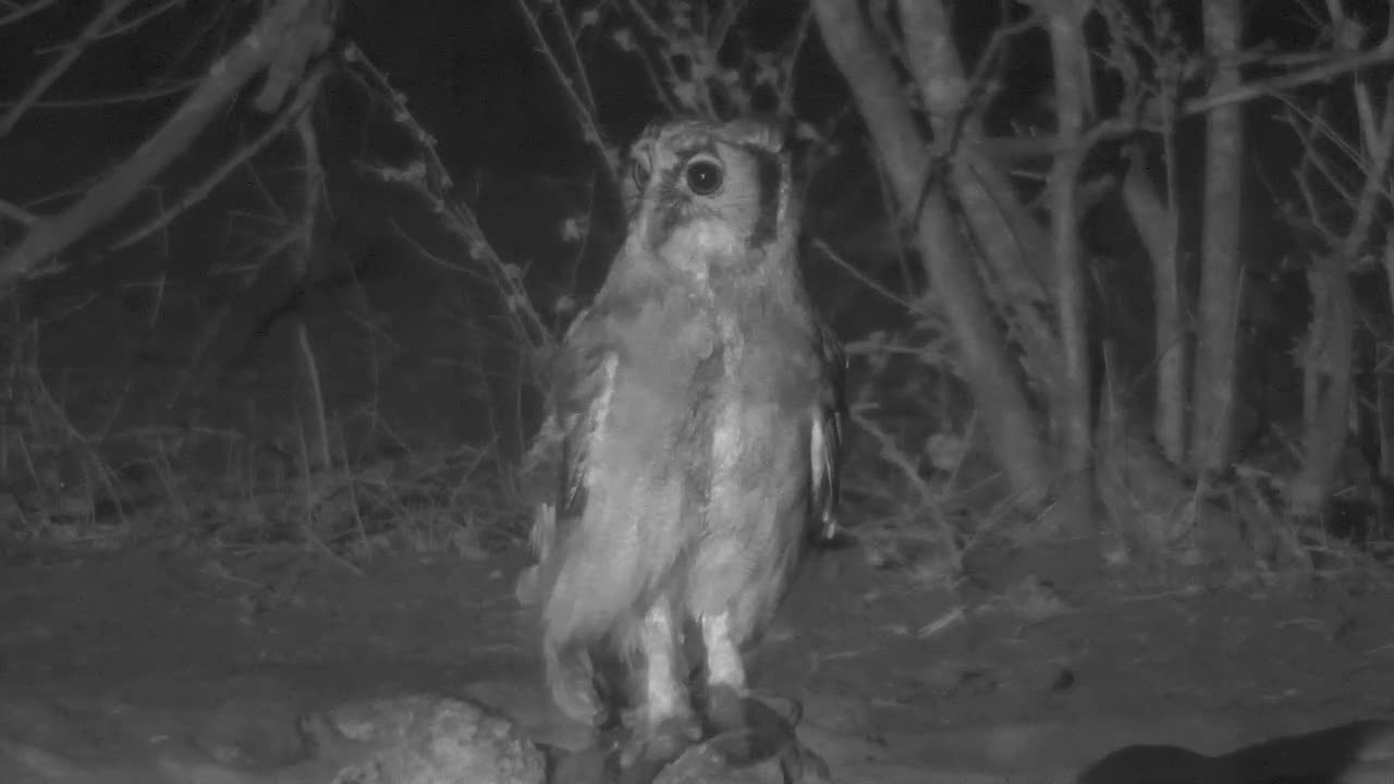 VIDEO: Giant Eagle Owl looks for and catches a frog