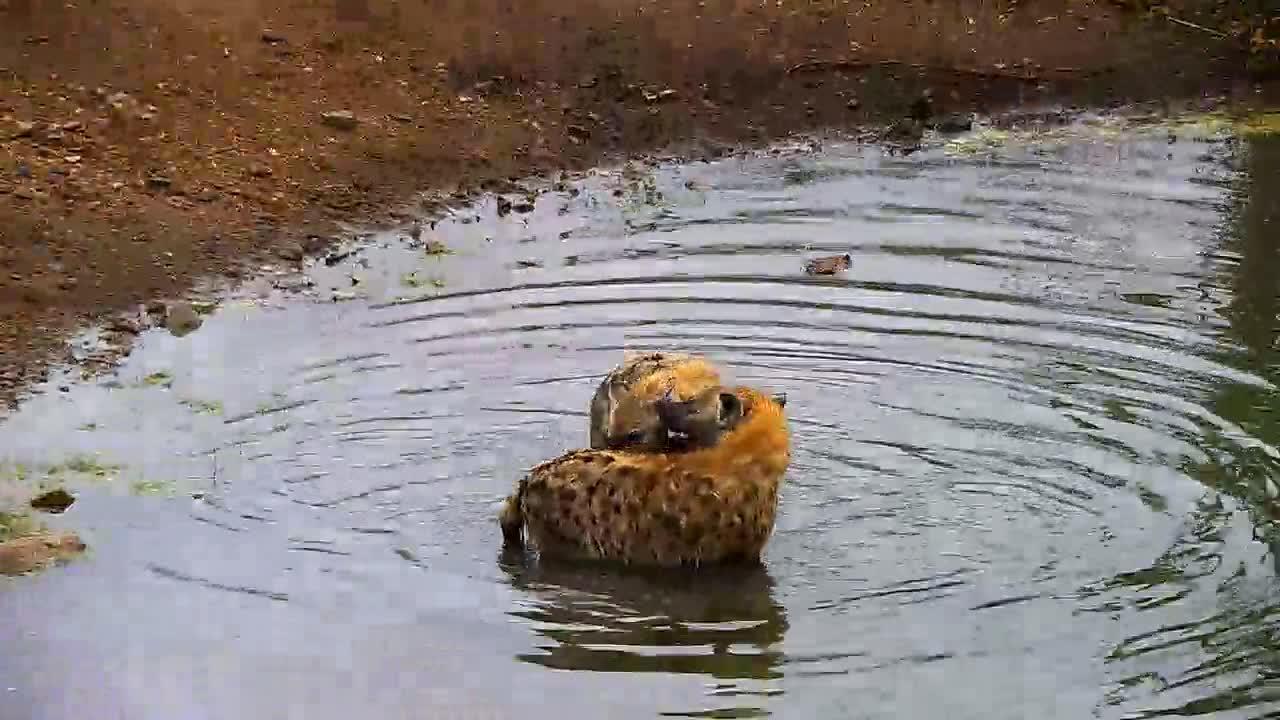 VIDEO: Hyaena Pool Party