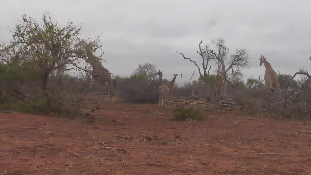 VIDEO: Giraffes with young