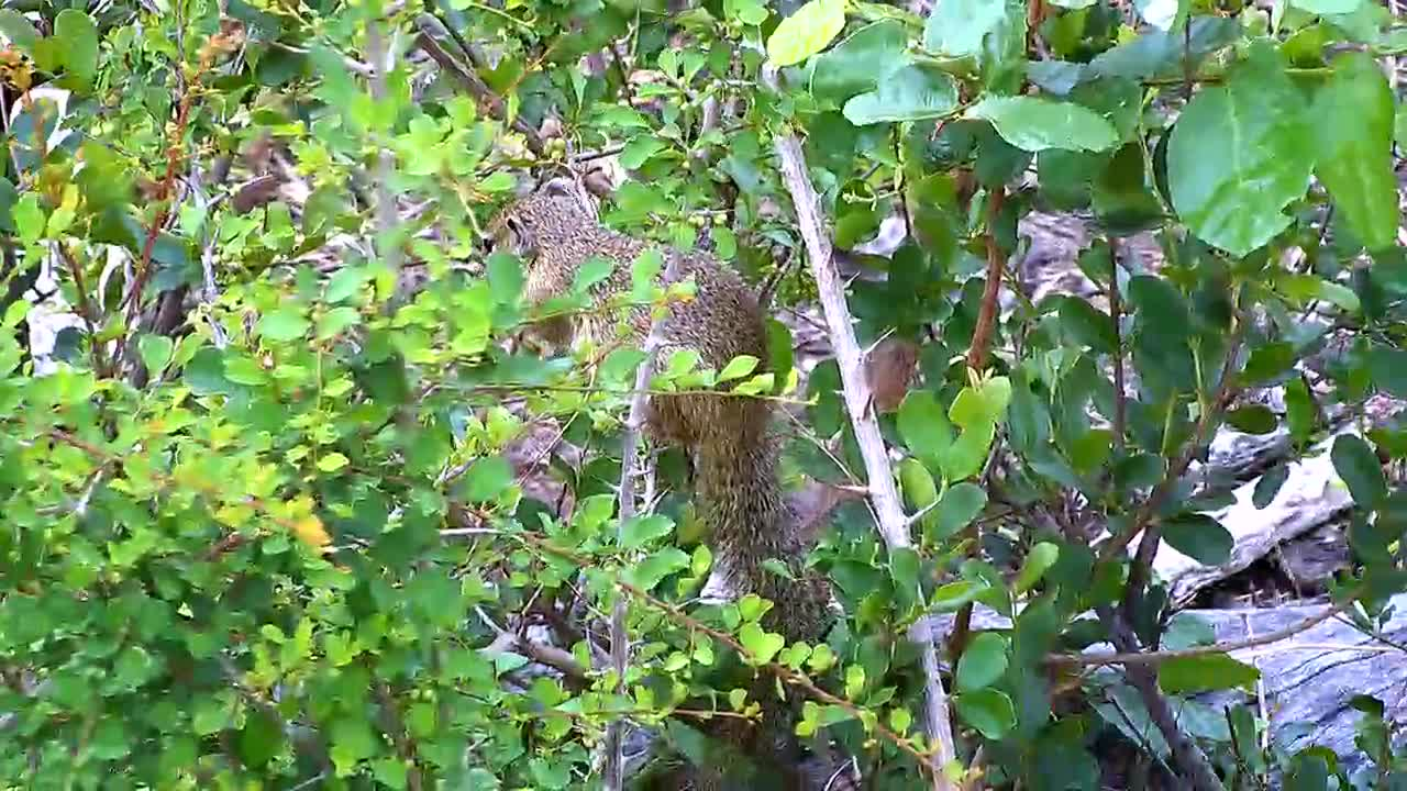 VIDEO: Tree Squirrel