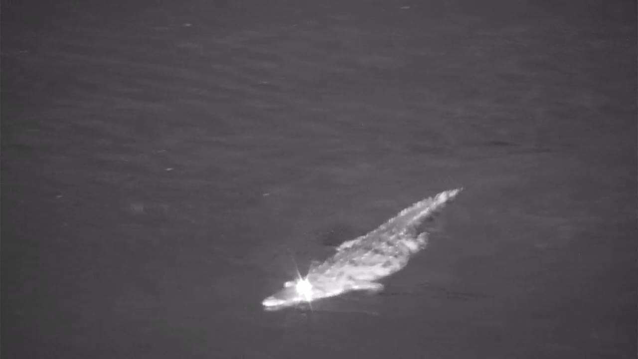 VIDEO:  Crocodile trying to catch something in the air as it lumbers up the river