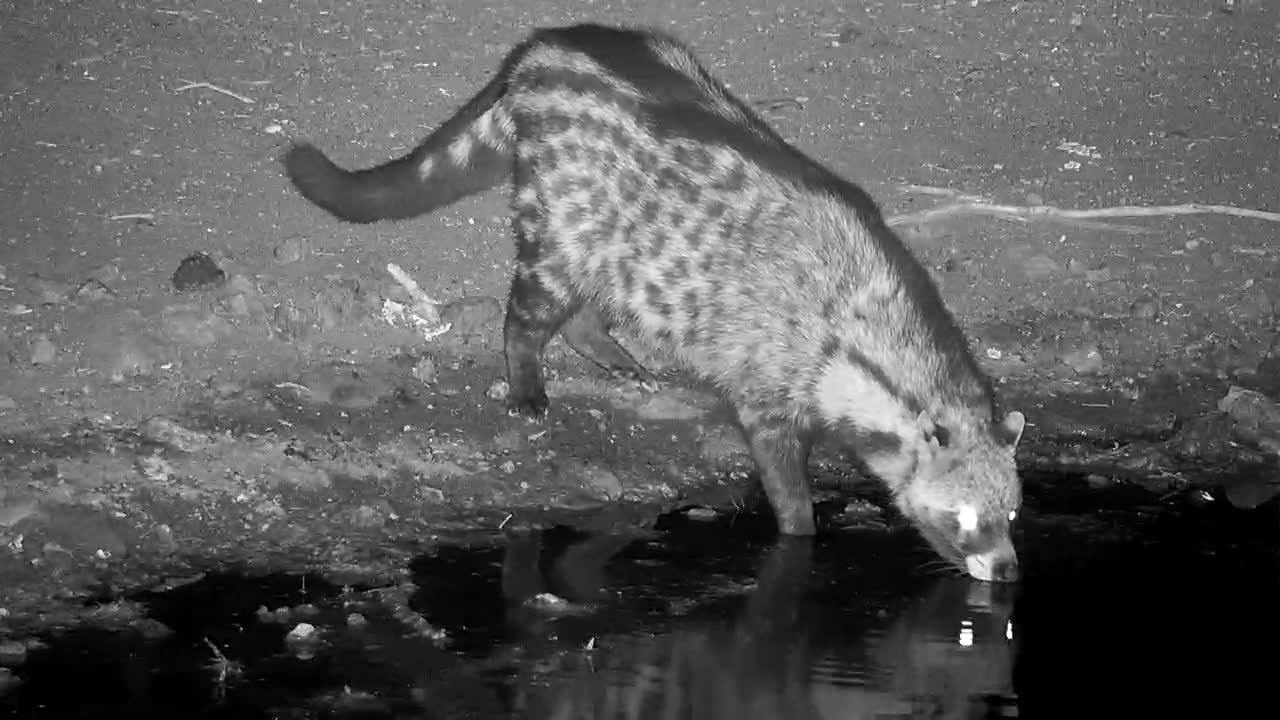 VIDEO:  Civet taking a drink before moving on to hunt