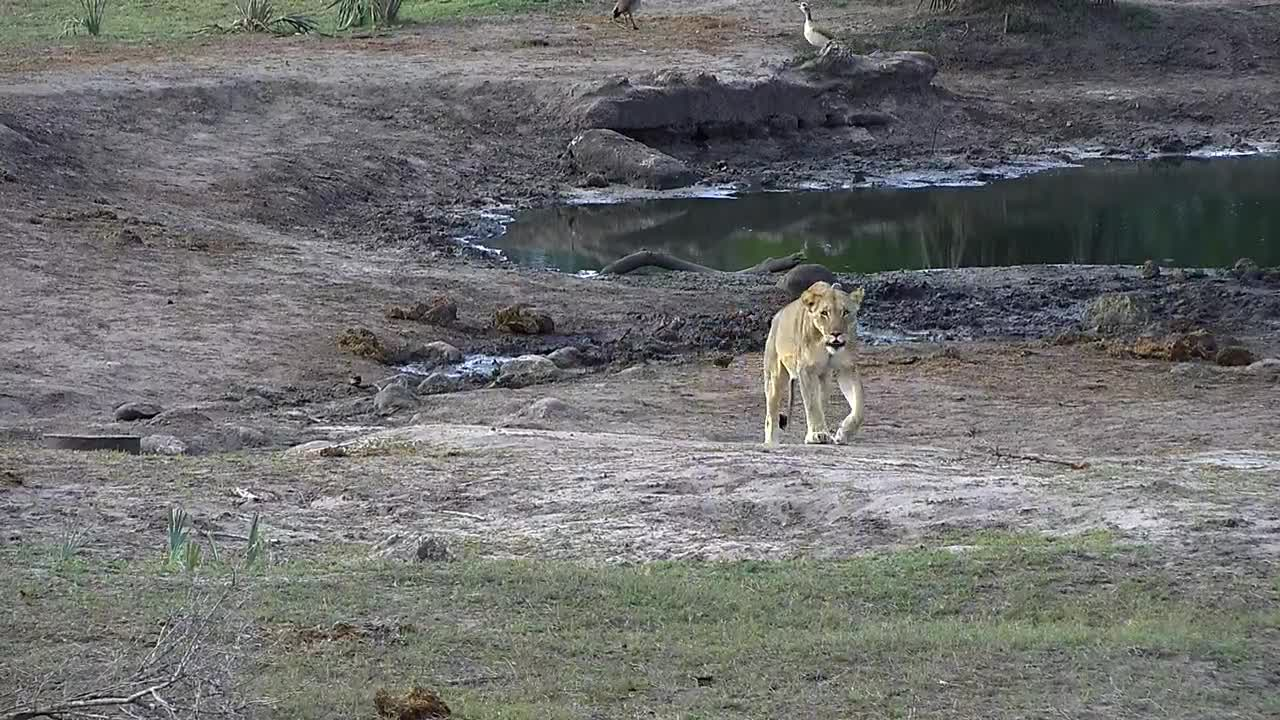 VIDEO: Lion kills Nyala then goes for a drink before resting