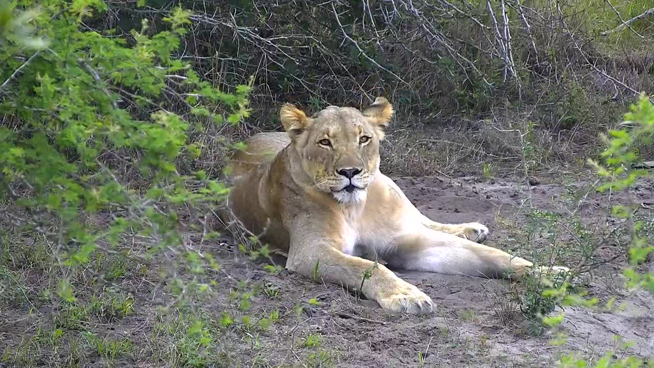 VIDEO: Lion panting and resting up after the kill