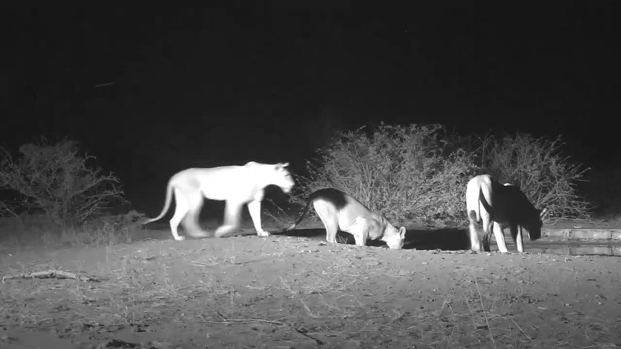 VIDEO: More Lions arrive and have a drink before following first one away