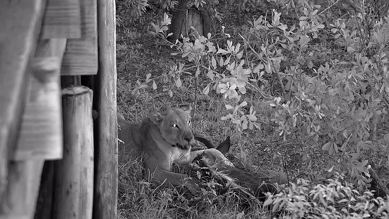 VIDEO:Lioness eating