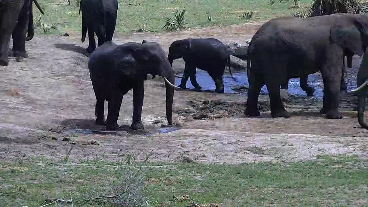 VIDEO: Breeding Herd of Elephants enjoy the water - a young one taking also a bath