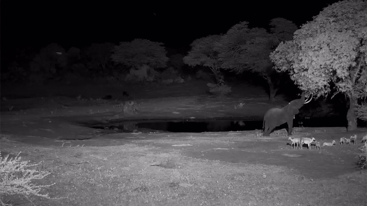 VIDEO:  Elephant stretching its trunk to reach the tree leaves as the Impalas rest near by