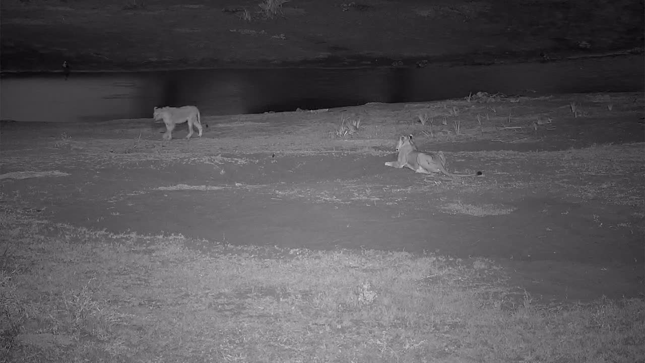 VIDEO:  Lion Pride coming to have a drink