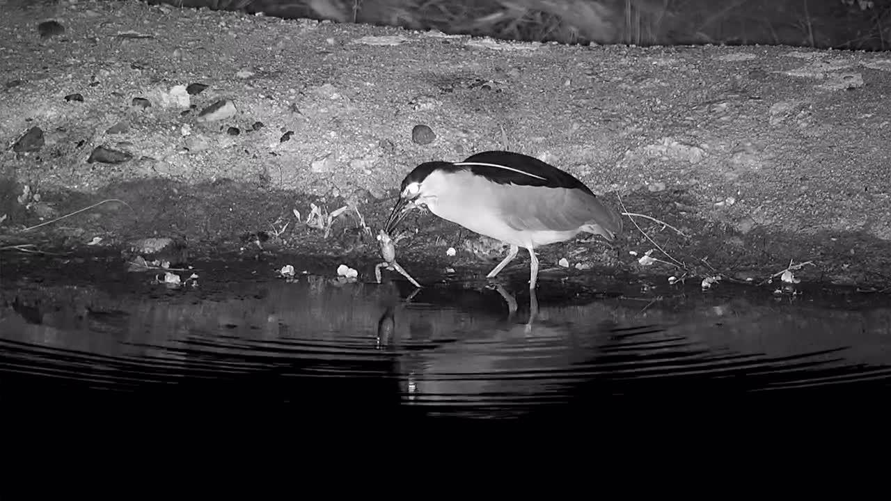 VIDEO:  Black-Crowned Night heron eating 2 frogs