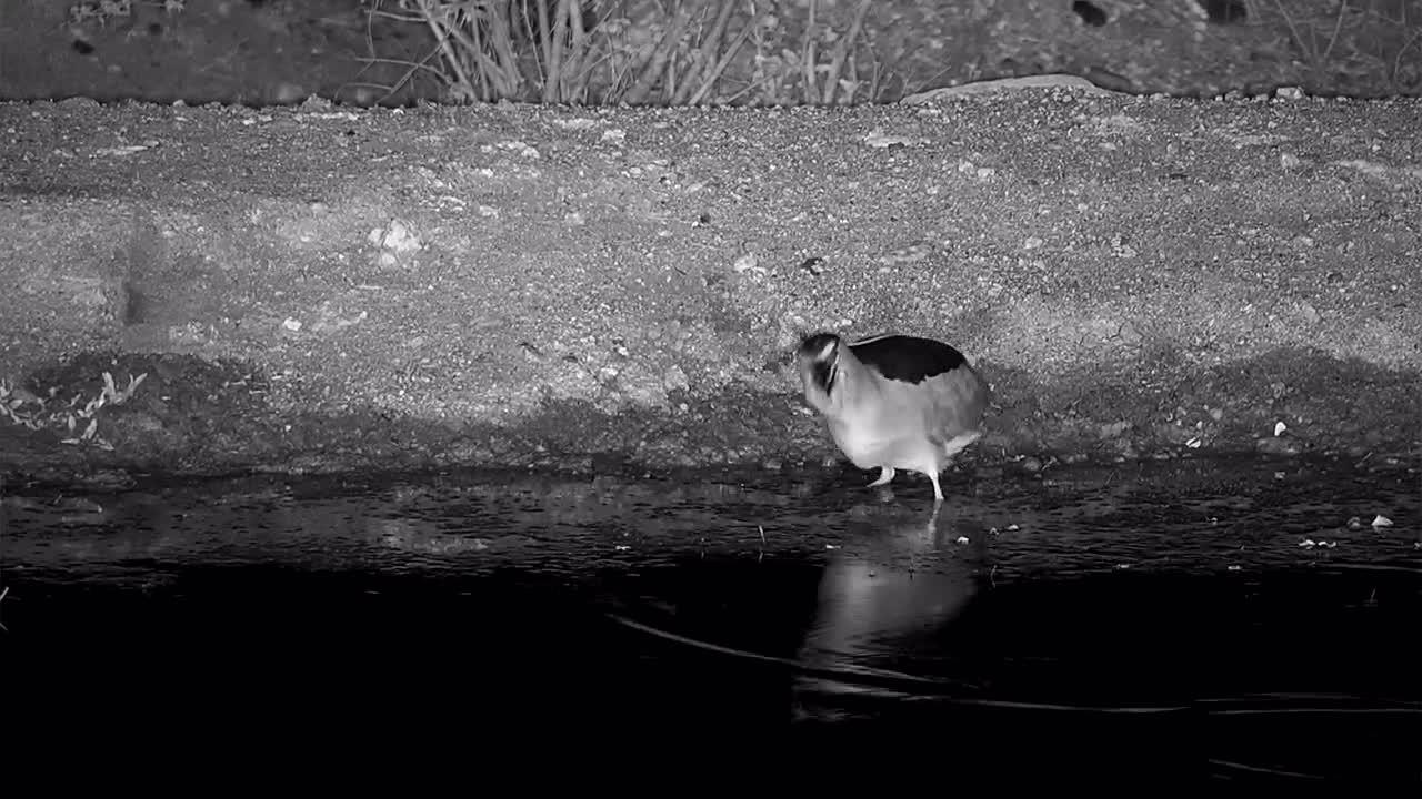 "VIDEO:  Final ""gulp"" of a Black-Crowned Night Heron eating a frog"