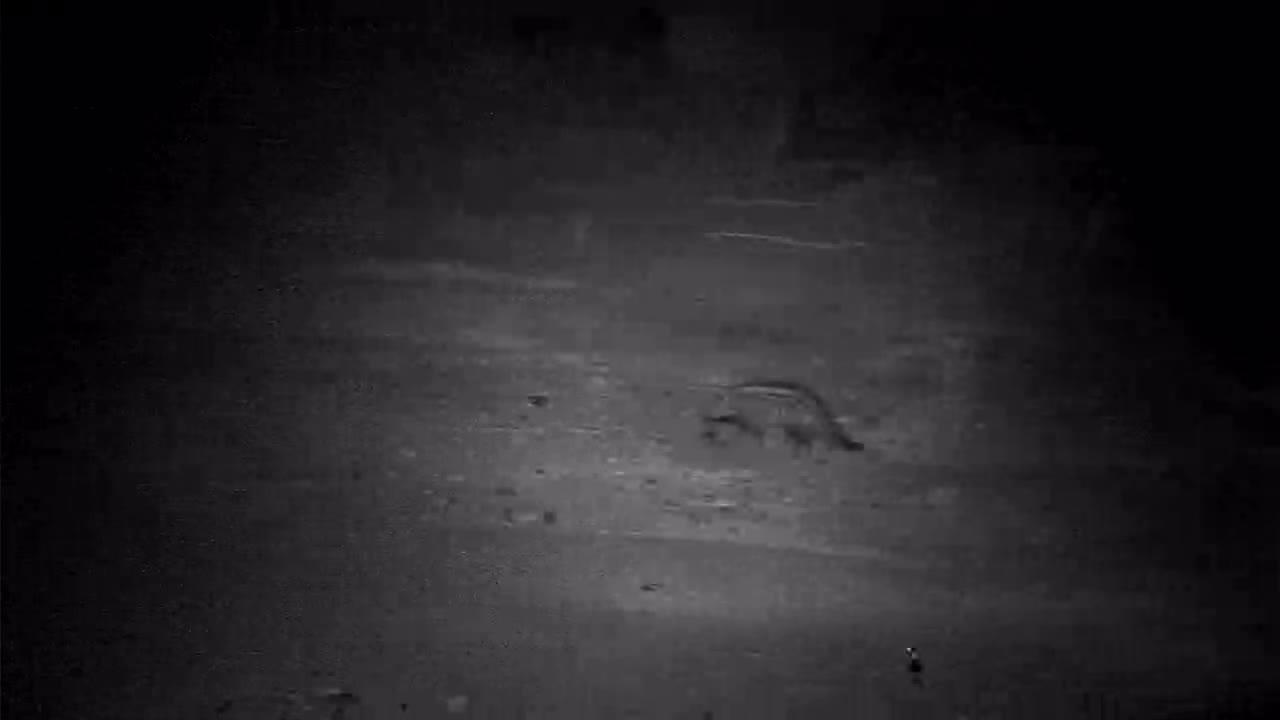 VIDEO: Civet walked by the waterhole