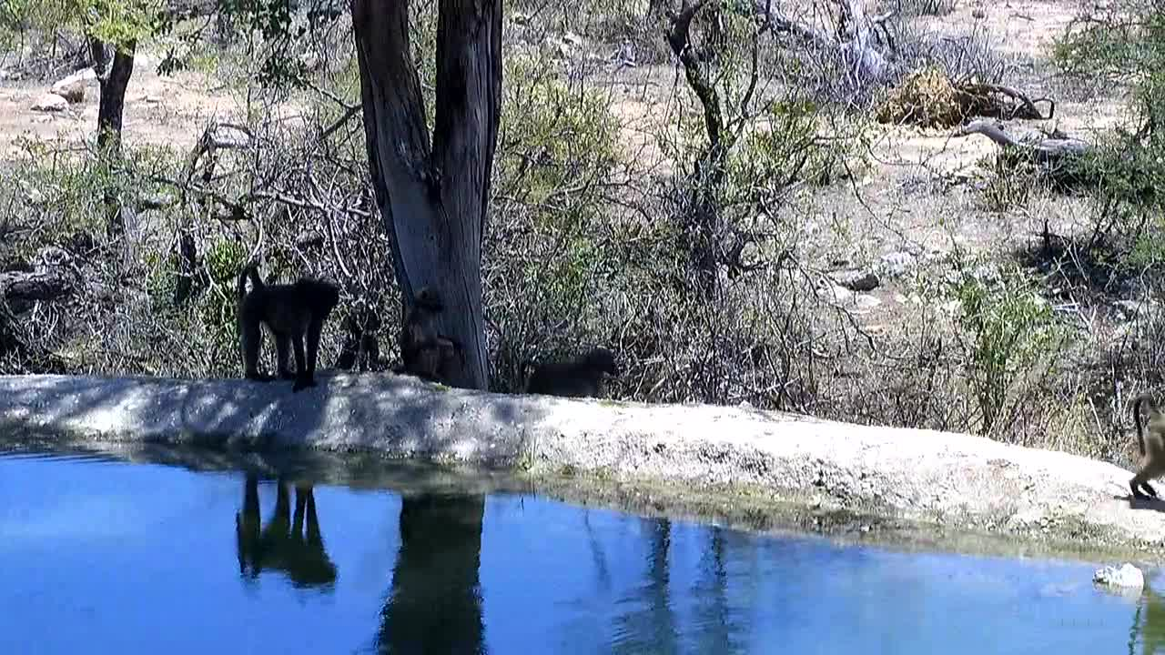 VIDEO: Baboons  coming  for a drink.