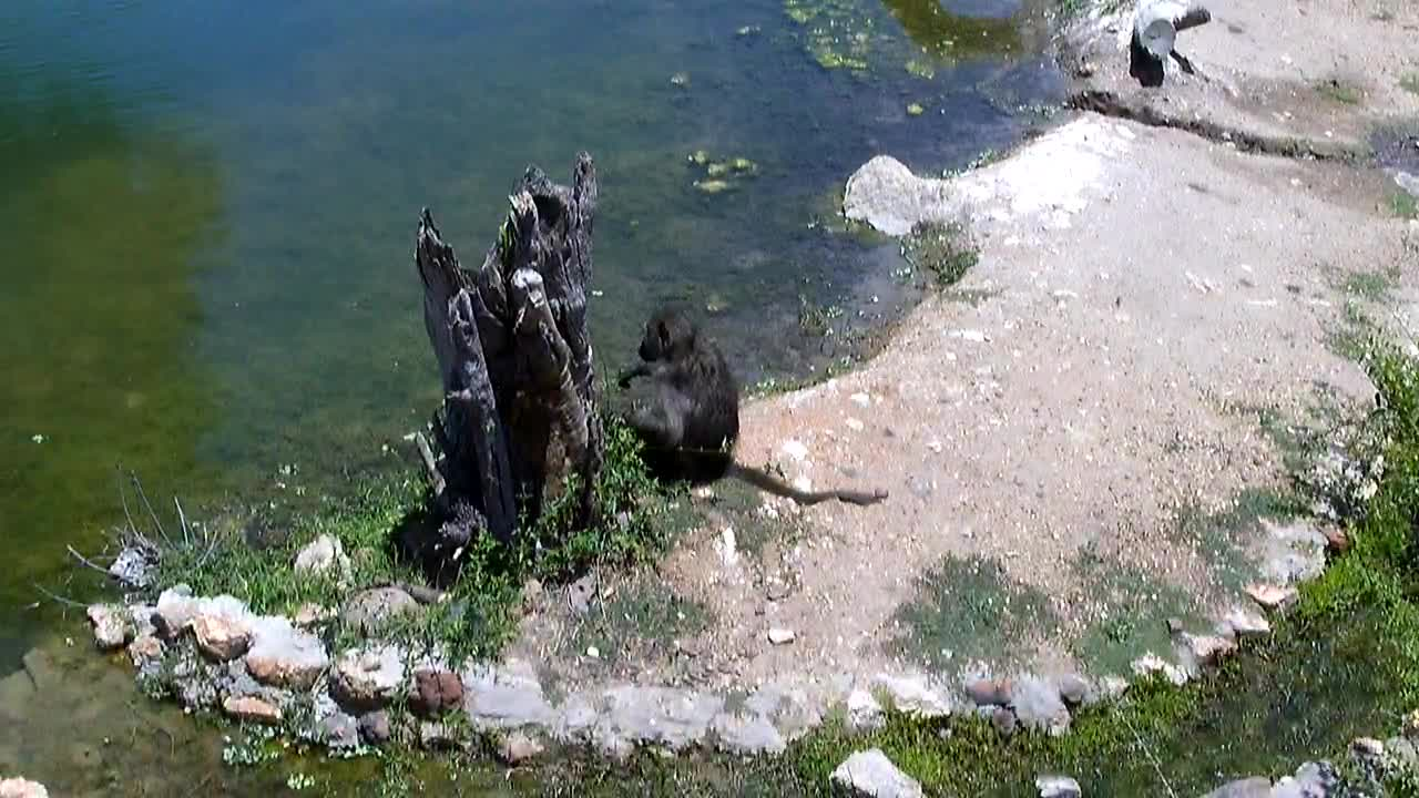 VIDEO: Baboons resting and eating